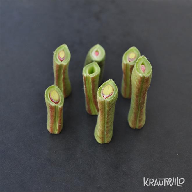 krautwild-bohnen_phaseolus-5