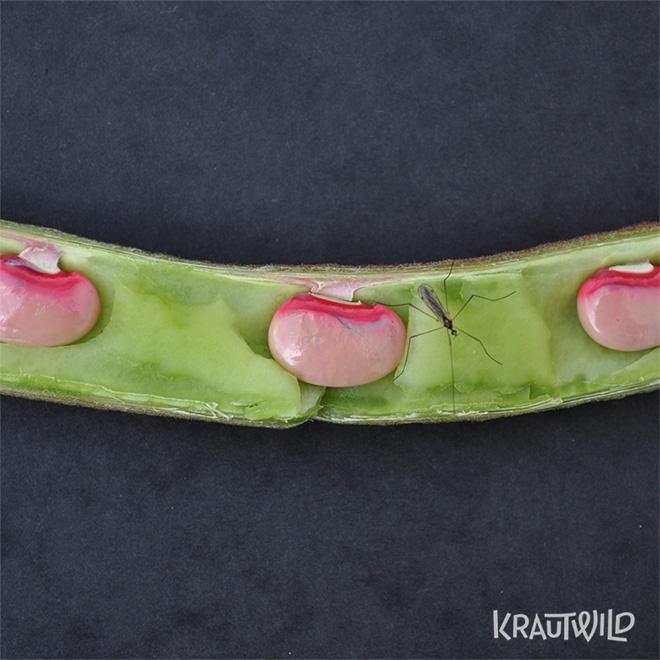 krautwild-bohnen_phaseolus-9