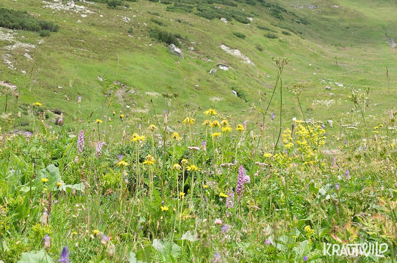 Bergwiese mit Arnika und Knabenkraut
